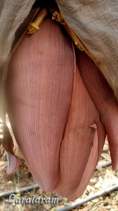 Как растут бананы.